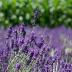 Geschichte des Lavendel