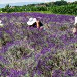 Lavendel-Sorten